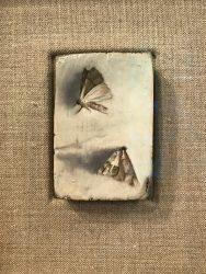 dan morley moths